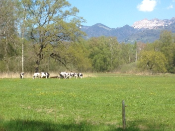 Cows and cowbells galore